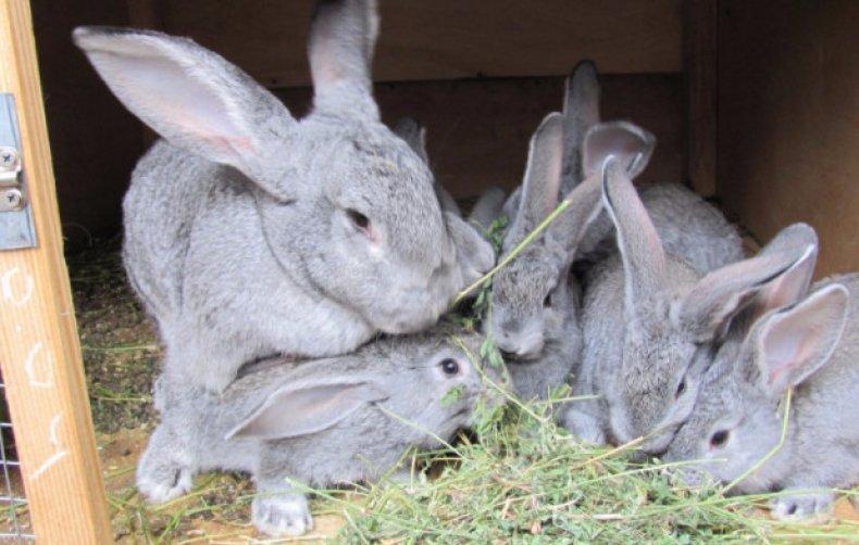 Кролики советская шиншилла описание породы фото отзывы разведение