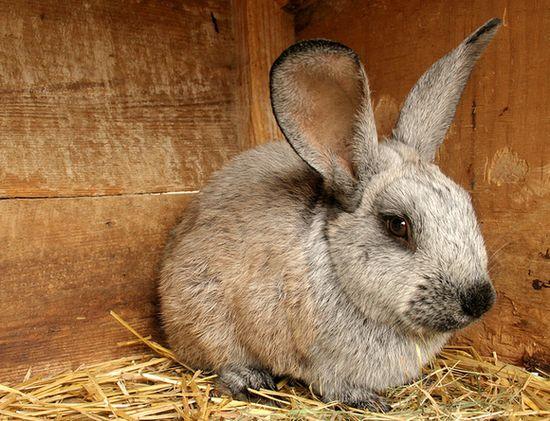 Забой кроликов в домашних условиях. Способы забоя кроликов