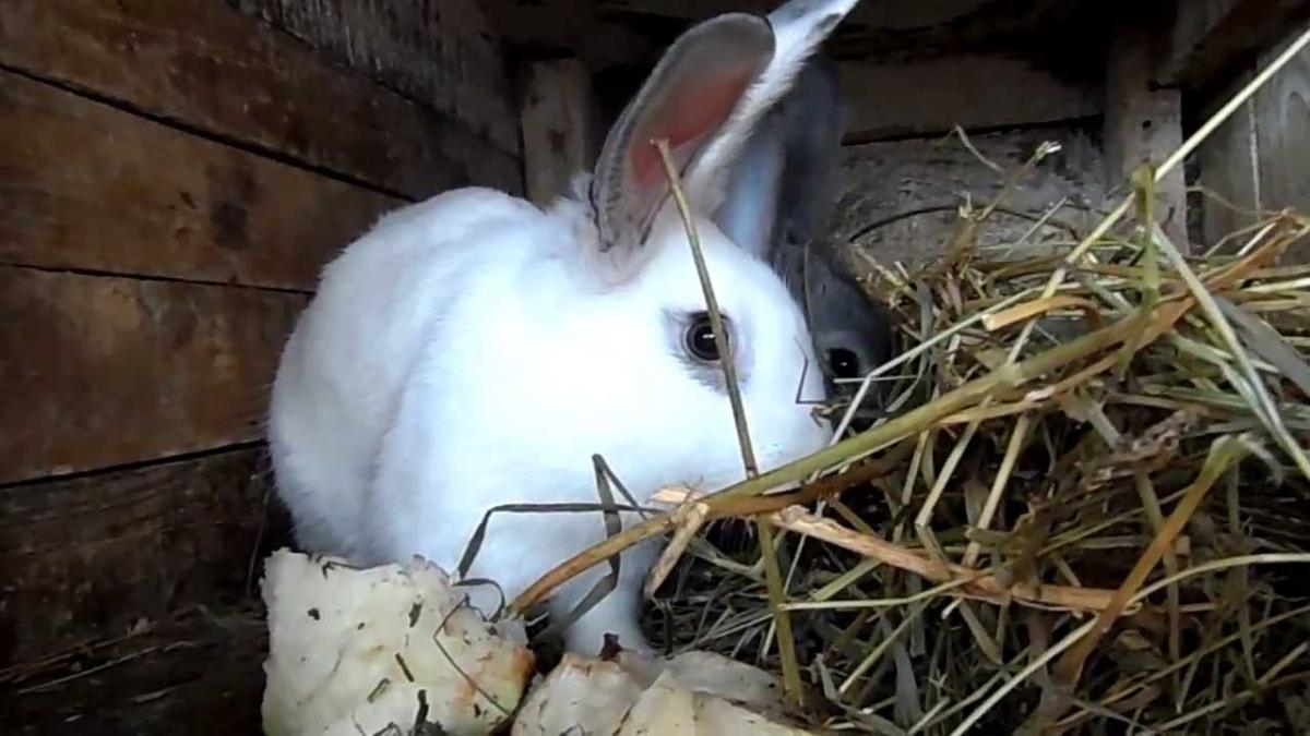 Чем лучше кормить кроликов зерном или комбикормом