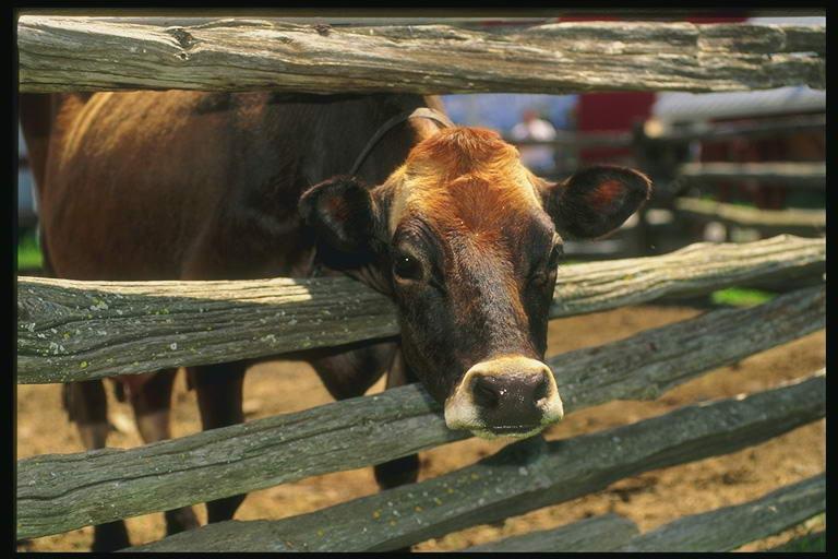 Что представляет собой эндометрит у коров