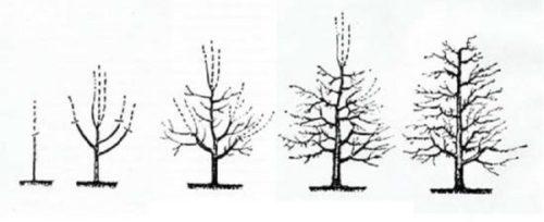 Правильное формирование кроны молодой груши с помощью обрезки