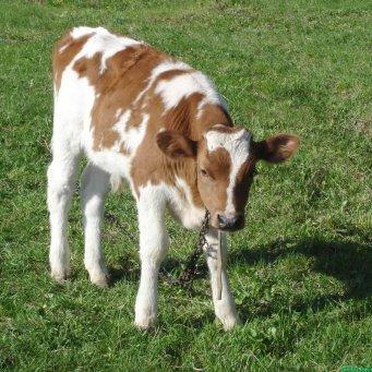С днем рождения теленок