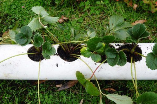 Выращивание клубники в трубах пвх горизонтально