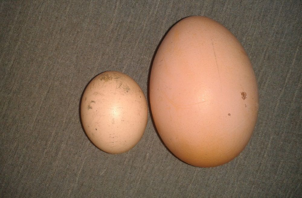 Что делать, если у курицы выпал яйцевод