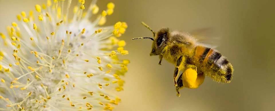 Строение тела и развитие медоносной пчелы, сколько у неё крыльев и ног