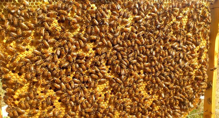 Пчёлы относительно новой для России породы Бакфаст