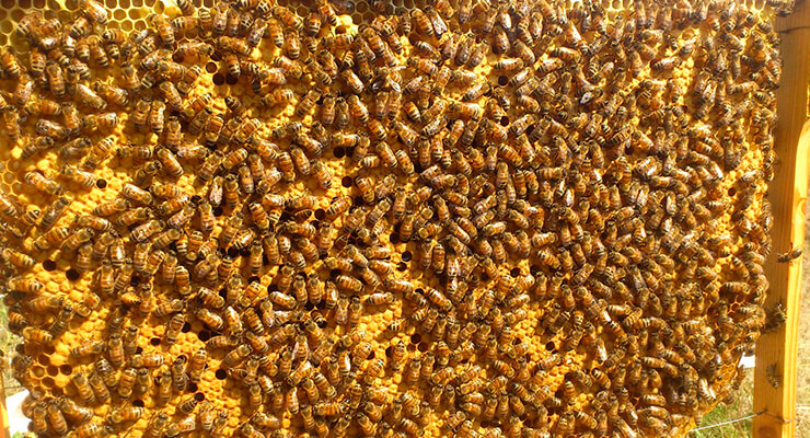 Пчелосемьи бакфаст