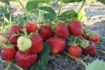 Клубника альбион описание сорта фото отзывы садоводов