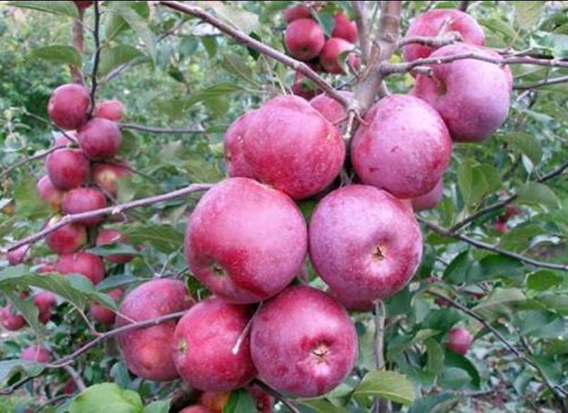 Яблоня старкримсон описание сорта