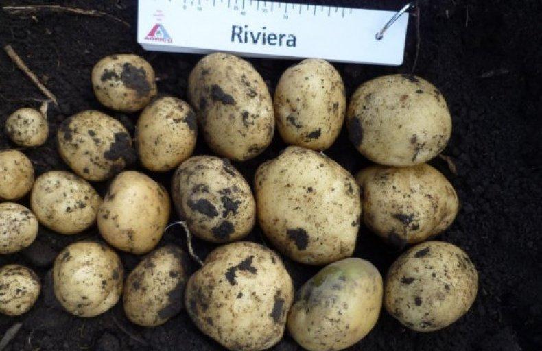Картофель ривьера описание и характеристика сорта правила выращивания с фото