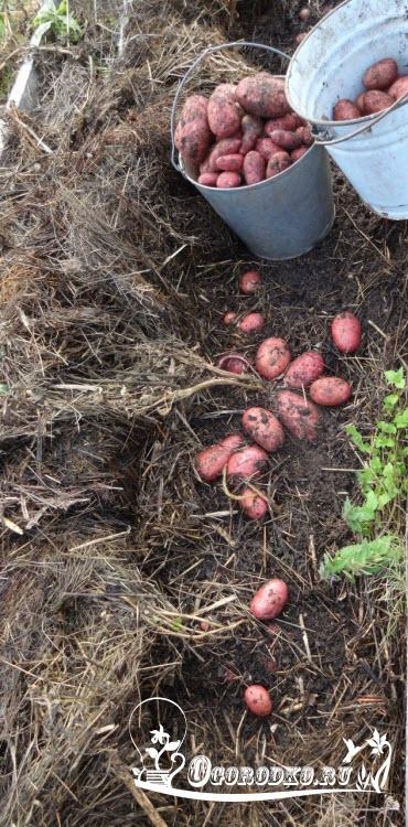 Способ посадки картофеля под солому высокие урожаи при минимуме усилий