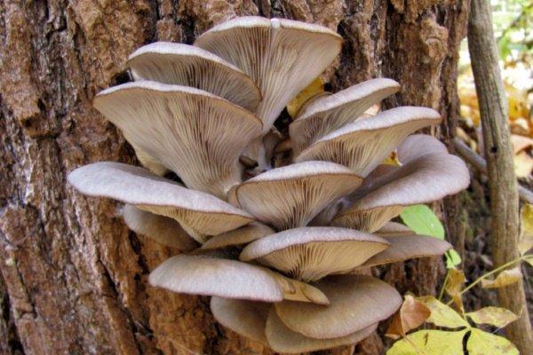 грибы паразиты съедобные