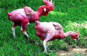 лысая курица